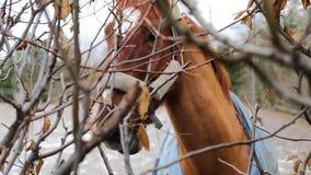 Hästen äter torra sidor stock video