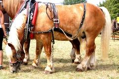 Hästen royaltyfria bilder