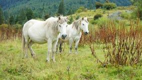 Hästen Arkivbild