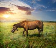 hästen betar Royaltyfria Bilder