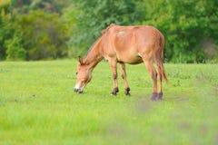 hästen betar Royaltyfri Foto