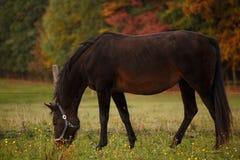 Hästen betar på och det höstliga landskapet Arkivbilder