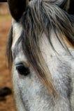 Hästen betar in på vinodlingen i Guadalupe Valley Arkivbilder