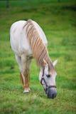 hästen betar white Fotografering för Bildbyråer