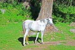 hästen betar white Royaltyfri Fotografi