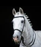 Häst för grå färgorlov trotter på svart Arkivfoto