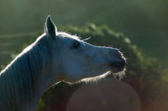 hästen fnyser