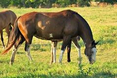Hästen frigör på ett fält i Argentina fotografering för bildbyråer