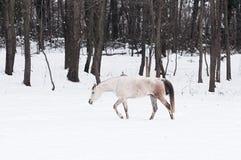Hästen går i snön Arkivbild