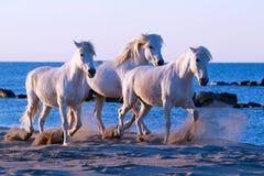 Hästen går, tre vita hästar som går på stranden royaltyfria foton