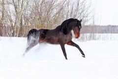 Hästen går vinter Arkivbild