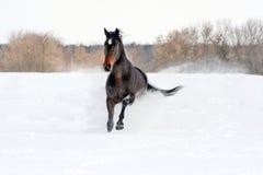 Hästen går vinter Arkivbilder