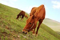 Hästen i gräset Arkivbilder