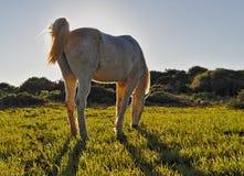 Hästen i solig äng som betar, cala millornatur, parkerar, mallorca, Spanien arkivfoton