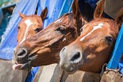 Hästen klibbade hennes tunga ut Arkivfoto