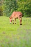 Hästen kopplar av i grässlätt Arkivfoto