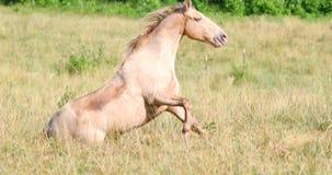 Hästen ligger på löneförhöjningarna för jordning därefter och skakar sig av arkivfilmer