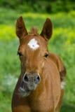 Hästen med en avkänning av blidkar. Arkivfoto