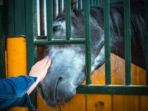 Hästen mottar omsorger royaltyfri bild