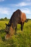 Hästen på en guld- äng Royaltyfria Foton