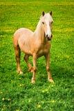 Hästen på green betar Royaltyfri Bild
