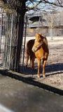 Hästen parkerar maktbrunt Royaltyfria Bilder
