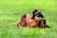 Hästen rullar tillbaka Arkivfoton