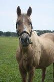 Hästen sätter in in Royaltyfri Foto