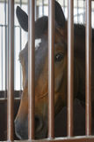 Hästen ser till och med stängerna av stallen i stall Royaltyfria Foton