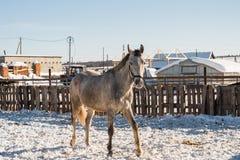 Hästen ser ut bakifrån ett trästaket royaltyfri foto