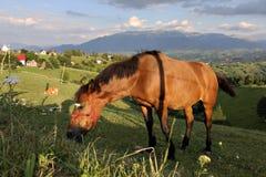 Hästen som äter gräs på ett berg, betar Arkivbild