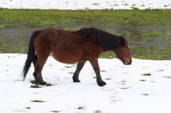 Hästen som betar i ett snöig, sätter in royaltyfria bilder
