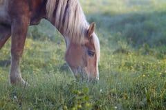 Hästen som betar i gräsplan, betar Royaltyfri Fotografi