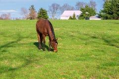 Hästen som betar på gräsplan, betar av hästlantgård Landet landskap Arkivbild