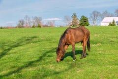 Hästen som betar på gräsplan, betar av hästlantgård Landet landskap Royaltyfria Bilder