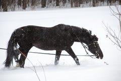 Hästen som går på ett utfall Royaltyfria Foton
