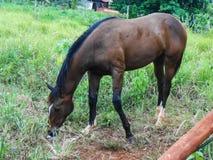 Hästen som matar i gräsplanen, betar royaltyfri foto