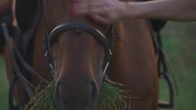 Hästen tuggar gräset arkivfilmer