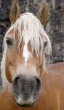 hästen tystar ned Arkivfoto