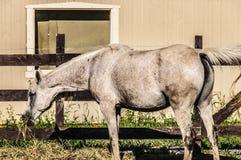 Hästen vinkar in Arkivbilder