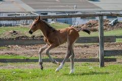 Hästföl som går i en äng Royaltyfri Fotografi