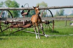 Hästföl som går i en äng Arkivfoton