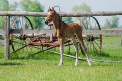 Hästföl som går i en äng Royaltyfria Bilder