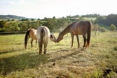 Hästförälskelse, en hästkyss royaltyfria foton