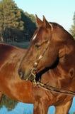 hästfjärdedelhingst Royaltyfri Fotografi
