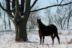 hästfjärdedelsnow Fotografering för Bildbyråer
