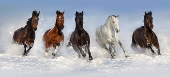 Hästflock i snö arkivbilder