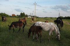 Hästflocken betar i Mozhaysk, Ryssland Royaltyfri Fotografi