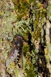 Hästfluga som vilar i ett träd Fotografering för Bildbyråer