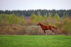 Hästgalopp Royaltyfri Fotografi